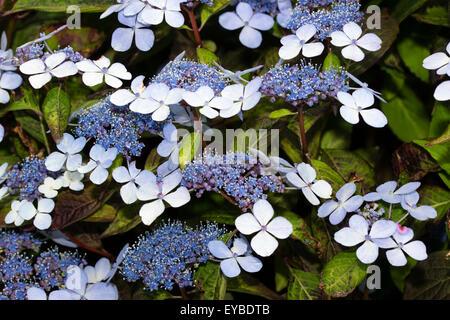 Blue and white lacecap flowers of Hydrangea serrata 'Bluebird' - Stock Photo