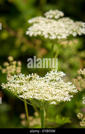 Giant Hogweed. Heracleum mantegazzianum. Recently in the news warning people of the dangerous sap that causes burns - Stock Photo