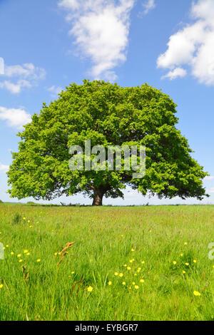 Oak Tree in Spring, Kent, England, Britain, UK - Stock Photo