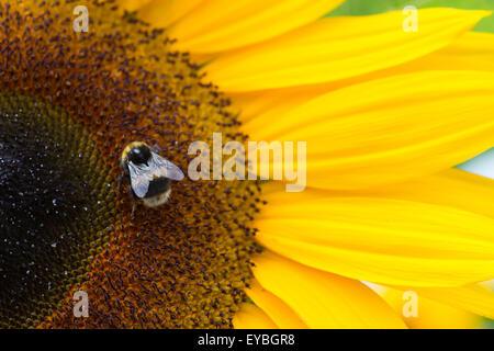 Helianthus annuus. Bombus Lucorum. Bumblebee on Sunflower 'Ronnie' - Stock Photo