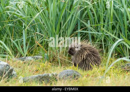 North American Porcupine (Erethizon dorsatum), Glacier Bay National Park, Alaska, USA - Stock Photo