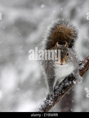 A gray squirrel (Sciurus carolinensis) on a branch in falling snow on a winter morning - Stock Photo