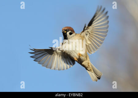 Flying Eurasian Tree Sparrow in autumn - Stock Photo