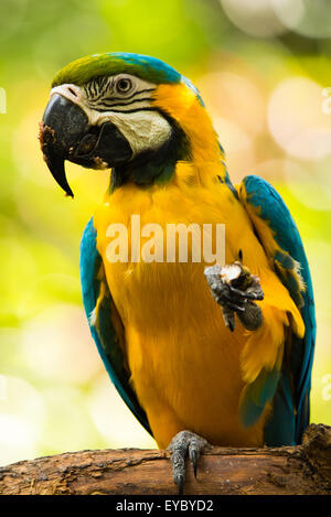 A Blue-and-yellow Macaw eating. Photo taken in Costa Rica - Stock Photo