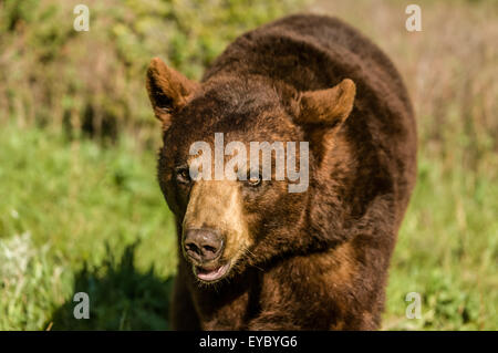 Portrait of Grizzly bear walking toward you near Bozeman, Montana, USA.  This is a captive animal. - Stock Photo