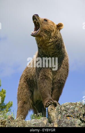 Adult male Grizzly Bear growling in Bozeman, Montana, USA.  This is a captive animal. - Stock Photo