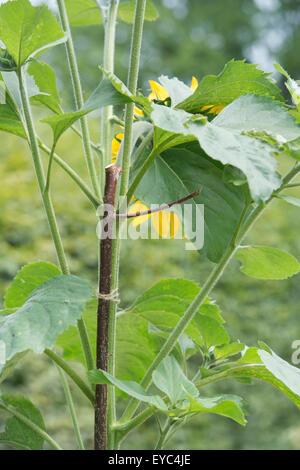 Helianthus annuus. Hazel Stick supporting Sunflower stem - Stock Photo