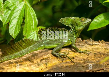 Basiliscus plumifrons, Green Basilisk Lizard, Tortuguero, Costa Rica - Stock Photo