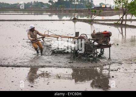 Farmer plowing rice field. - Stock Photo