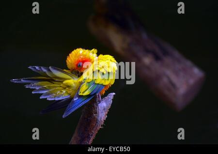 Sun parakeet or sun conure (Aratinga solstitialis) cleans up. - Stock Photo