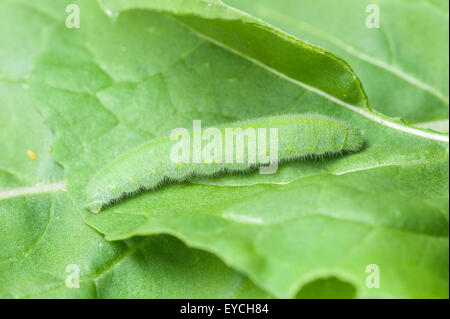 Cabbage white (small white) butterfly caterpillar - Stock Photo
