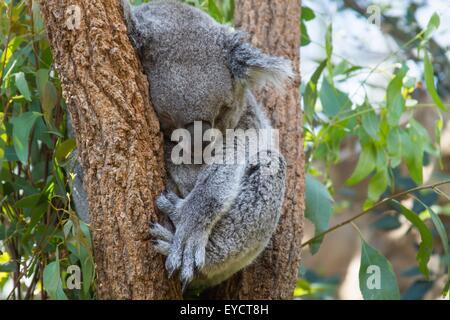 Portrait of koala bear sleeping in tree, Australia - Stock Photo