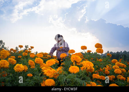 Xi'an, China's Shaanxi Province. 27th July, 2015. A tagetes grower picks tagetes erecta in Mantou Village of Luonan - Stock Photo