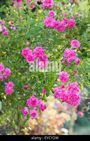 Rosa 'Dorothy Perkins'. Rose 'Dorothy Perkins'. Rambler Rose in an english garden - Stock Photo