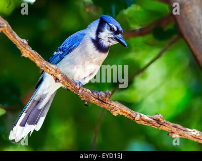 Blue Jay Standing on Branch - Stock Photo