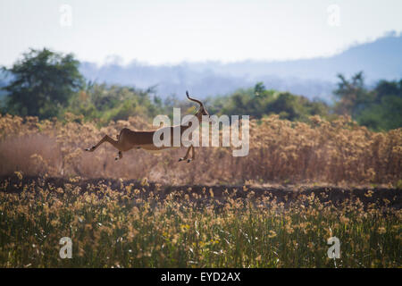 Impala (Aepyceros melampus) leaping high into the air. - Stock Photo