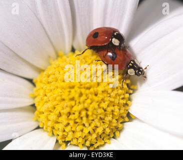 Marienkaefer, Paarung, Paar, making, Coccinella, semptempunctata, - Stock Photo