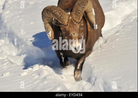 A close up front view image of a rocky mountain bighorn ram running down a snow covered hill side - Stock Photo
