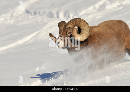 A close up front view image of a rocky mountain bighorn ram running down a snow covered hill side covered - Stock Photo