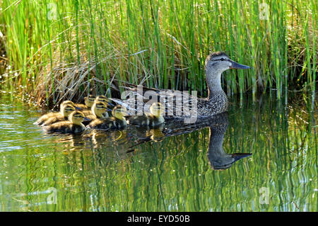 A female mallard duck 'Anas pltyrhynchos',  with her brood of day old ducklings swimming in a marshy area - Stock Photo