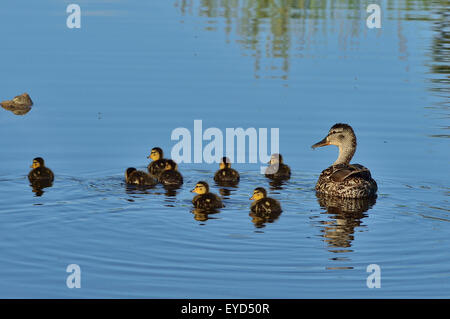 A female mallard duck 'Anas pltyrhynchos',  with her brood of day old ducklings swimming in a beaver pond - Stock Photo