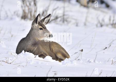 A female mule deer, Odocoileus hemionus, laying in the fresh snow in rural Alberta Canada