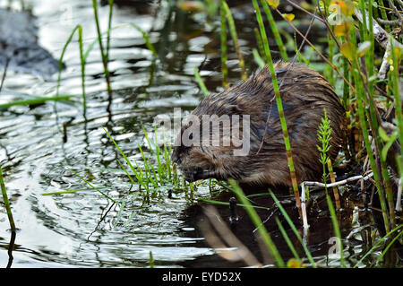 A close up side view of a muskrat 'Ondatra zibethicus', using his front paws to hold green vegetation that he is - Stock Photo
