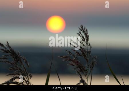 Sonnenuntergang, Gras, Schilf, Siluette, Abendrot, - Stock Photo
