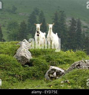 Ziegen auf Weide im Appenzellerland in der Schweiz, - Stock Photo