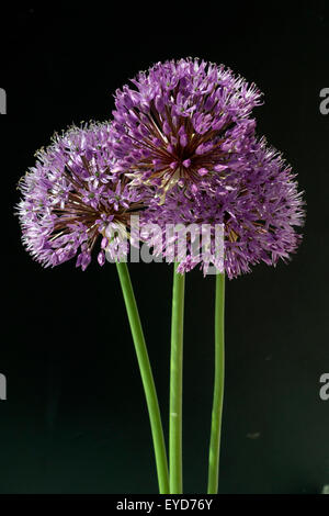 Zierlauch, Riesenlauch, Allium, Giganteum; - Stock Photo