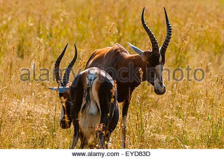 Blesbok (antelope) sparring, Lion Park, near Johannesburg, South Africa. - Stock Photo
