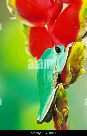 White lined tree frog (Phyllomedusa camba) climbing Heliconia flower, Madidi National Park, Bolivia, South America - Stock Photo