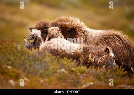 Muskoxen, adult and young, Ovibos moschatus, in Dovrefjell national park, Dovre, Norway. - Stock Photo