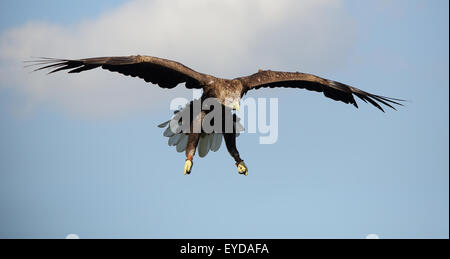 An beautiful White-tailed Sea-Eagle, also known as White-tailed Eagle, or simply Sea Eagle, in flight coming in - Stock Photo