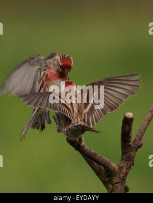 A couple of lovely Lesser Redpoll's, also known simply as Redpoll, fighting in half air and half perched - Stock Photo