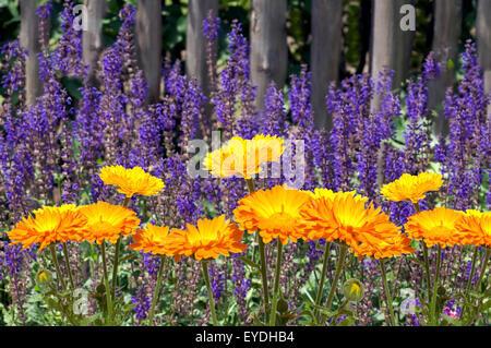 Steppen-Salbei; Salvia nemorosa, Ringelblumen, Calendula - Stock Photo