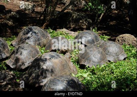 Giant Tortoises - Galapagos - Ecuador - Stock Photo