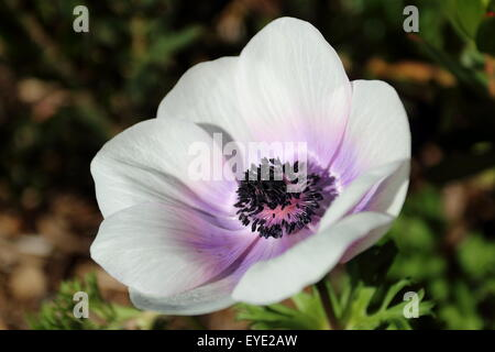 Close up of white anemone with purple tinge on petals - Stock Photo