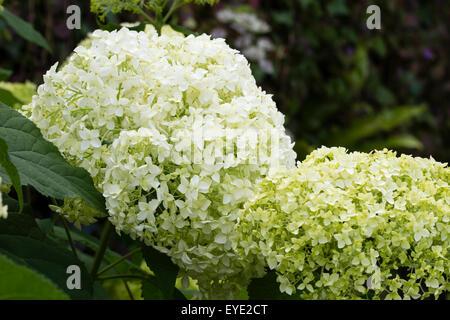 Creamy-white flowers of the deciduous shrub, Hydrangea arborescens 'Annabelle' - Stock Photo