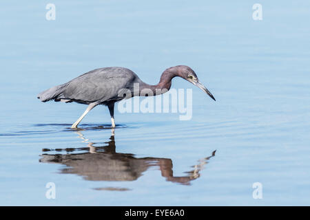 Little Blue Heron (Egretta caerulea) hunting, standing in water, Sanibel Island, Florida, USA - Stock Photo