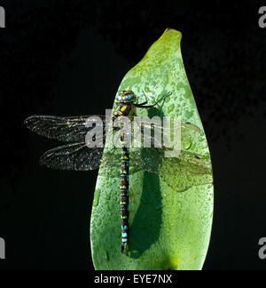Blaugruene Mosaikjungfer, Tau - Stock Photo