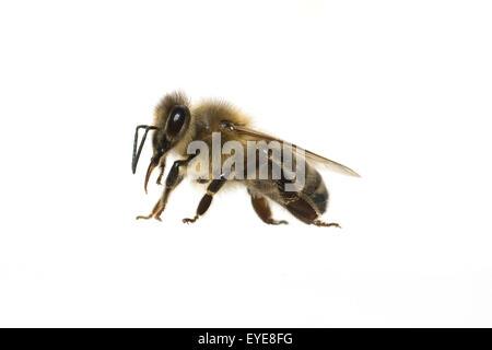 Biene; Apis, mellifera; Honigbiene; Insekt; - Stock Photo