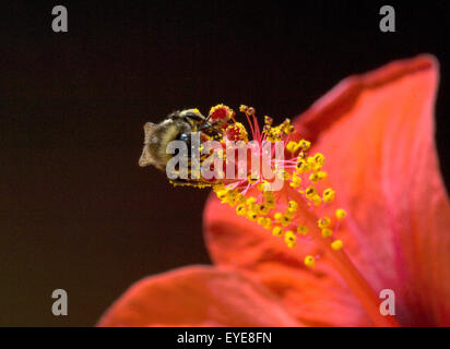 Hibiskus; Erdhummel, Bombus, terrestris, Hummeln, - Stock Photo