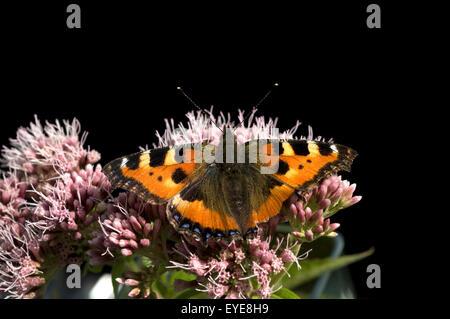 Kleiner Fuchs, Aglais urticae, Wasserdost, - Stock Photo