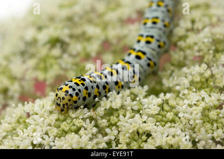 Raupe, Schwalbenschwanz, Papilio machaon - Stock Photo
