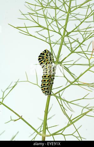 Raupe, Schwalbenschwanz, Papilio machaon - Stock Photo