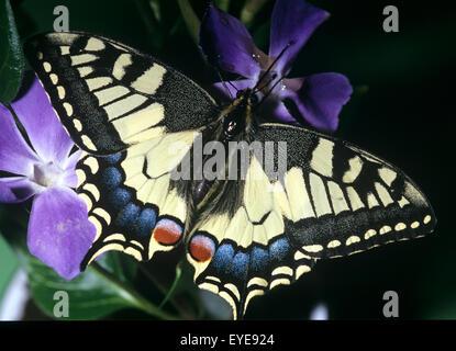 Schwalbenschwanz, Papilio machaon - Stock Photo