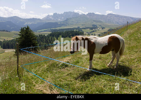 Grazing pony on the Siusi plateau, above the South Tyrolean town of Ortisei-Sankt Ulrich in the Dolomites, Italy. - Stock Photo
