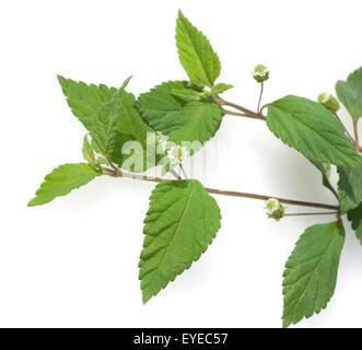 Aztekisches Suesskraut, Lippia dulcis, Suessmittel, - Stock Photo