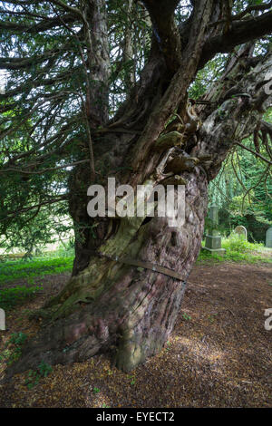 Ancient common yew tree (Taxus baccata), in the churchyard of St Cuthbert's, Beltingham, Northumberland, UK - Stock Photo
